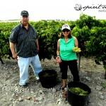 vendimia con nosotros, experiencias enoturismo Jerez, turismo para todos Spirit Sherry (3)